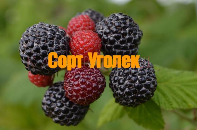 Плоды черной малины Уголек