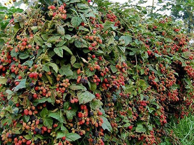 Усыпанный ягодами куст ежевики Chester Thornless