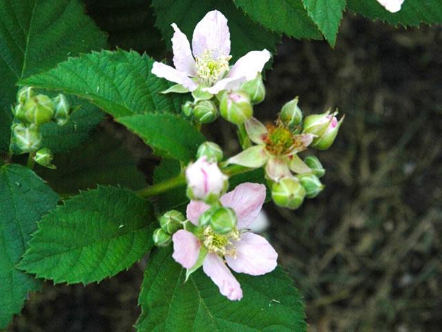 Цветок ежевики Честер