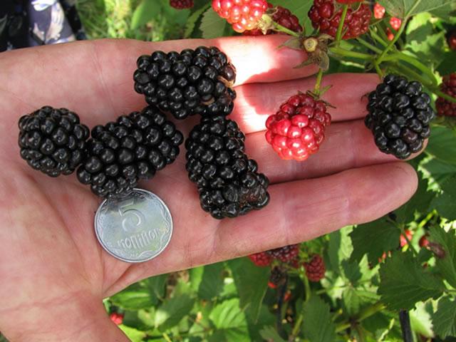 Крупные плоды ежевики Оркан