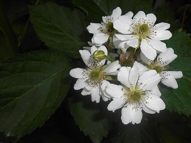 Цветение ежевики Оркан