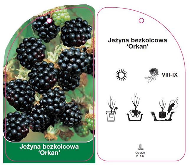Описание ежевики Оркан с польского каталога
