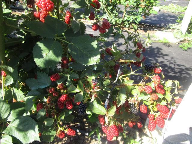 Плодоносящий куст ежевики сорт Апачи