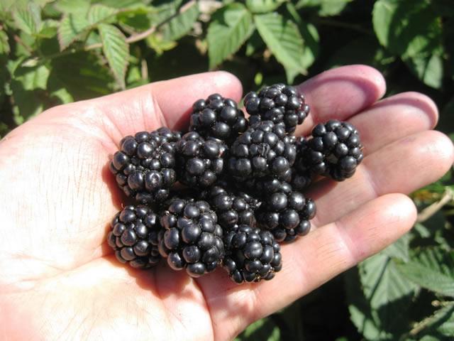 Плоды ежевики Арапахо
