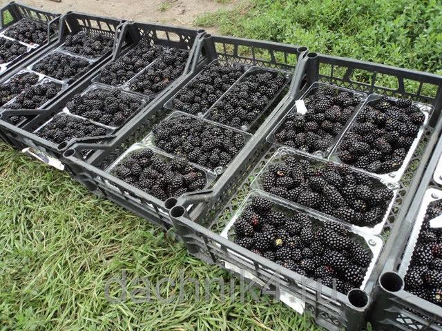 Собранный урожай ежевики Блэк Мэджик