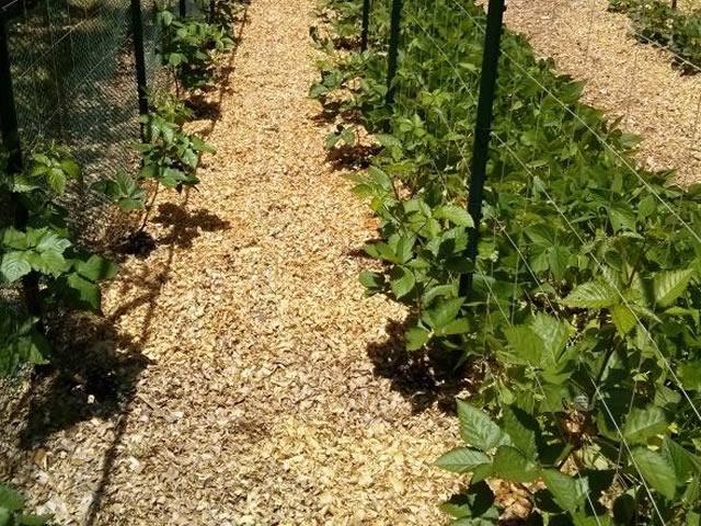 Выращивание сорта Прайм Арк Фридом