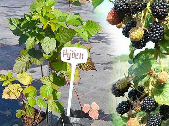 Саженец ежевики Рубен и его ягоды через год