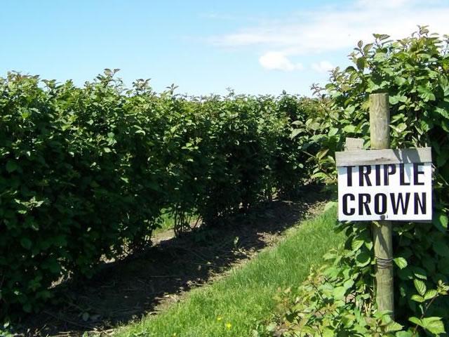 Плантация Трипл Кроун в США