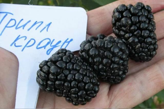 Крупные ягоды ежевики Трипл Краун