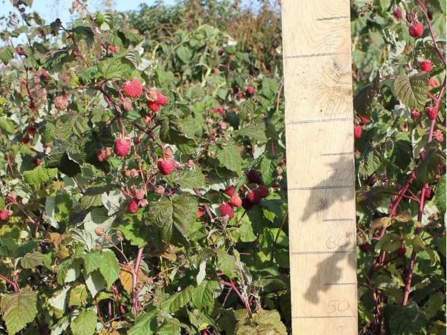 Плодоносящий куст малины сорт Конек-Горбунок