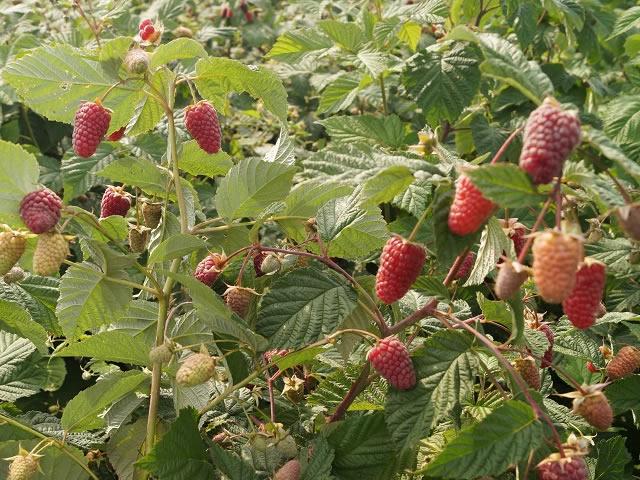 Плодоносящие побеги малины сорт Малиновая гряда
