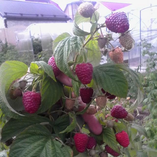 Плодоносящий побег малины Рубиновый гигант