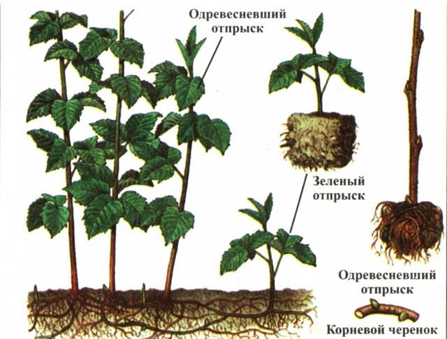 Способы размножения малины