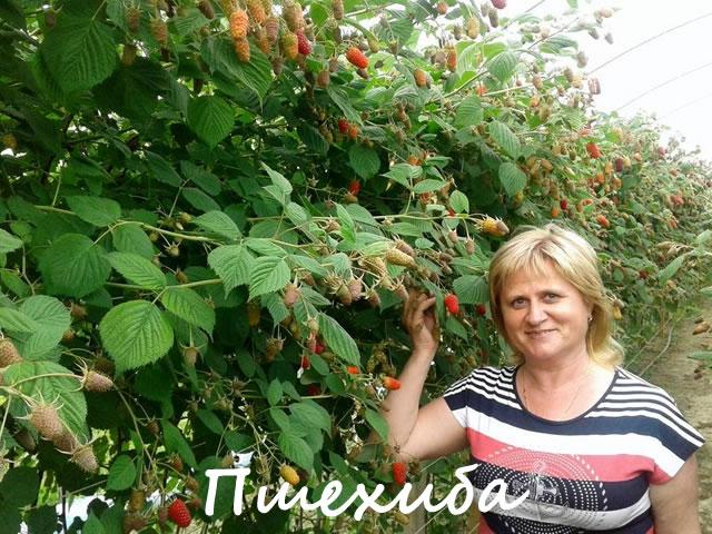 Плодоносящие кусты малины сорт Пшехиба