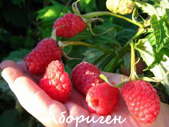 Крупные ягоды малины Абориген на ладони