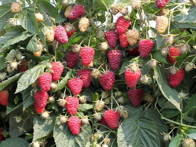 Плодоношение сорта малины Амира
