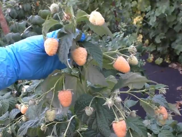 Плодоносящая ветка малины Анна