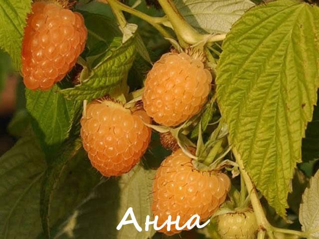 Анна - желтоплодный сорт для Подмосковья