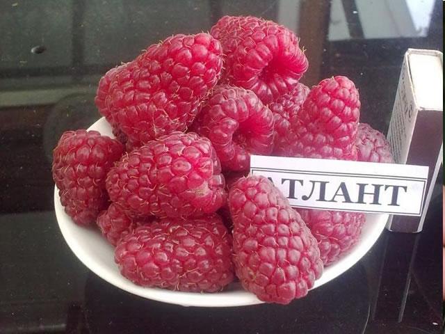 Урожай крупных плодов ремонтантной малины Атлант