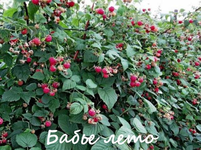 Куст малины сорт Бабье лето средних размеров