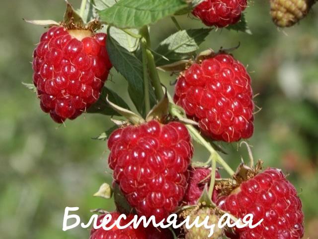 Крупноплодная малина для Сибири Блестящая