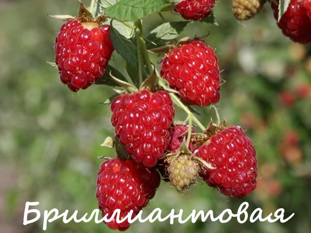 Плодовая веточка малины сорт Бриллиантовая