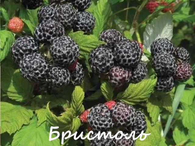 Черноплодная малина для средней полосы России
