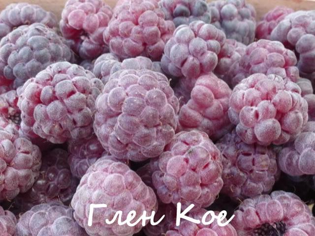 Фиолетовая малина сорт Глен Кое