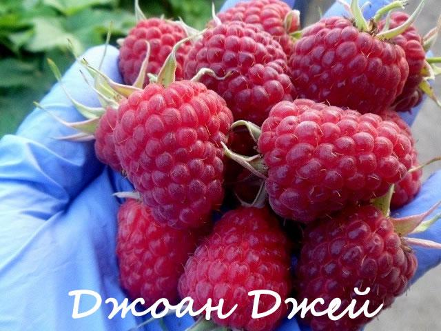 Крупные ягоды малины Джоан Джей