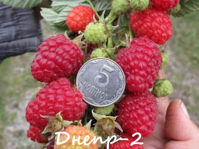 Ранний сорт малины Днепр-2
