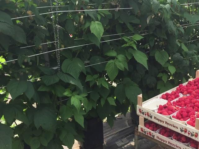 Сбор урожая на плантации малины Энросадира