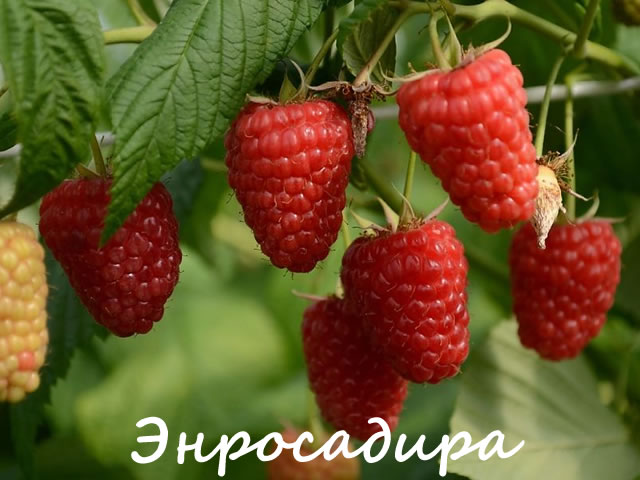 Плоды малины сорт Энросадира
