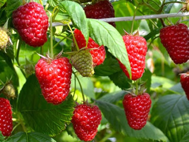 Плоды малины Энросадира крупным планом