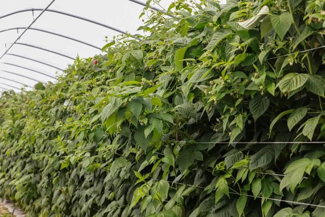 Кусты малины Энросадира в теплице