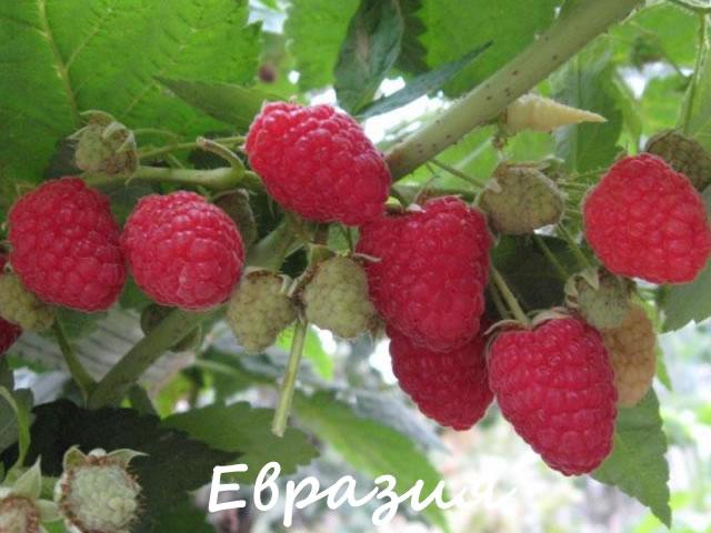 Плодоносящая ветка малины сорт Евразия
