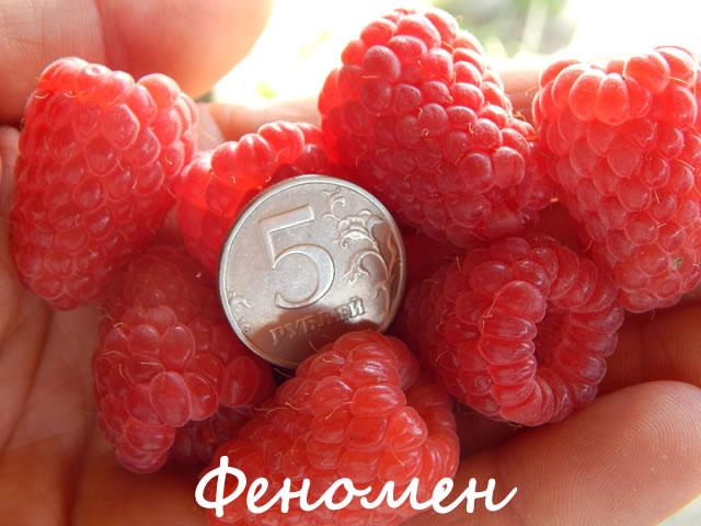 Крупные ягоды малины сорт Феномен