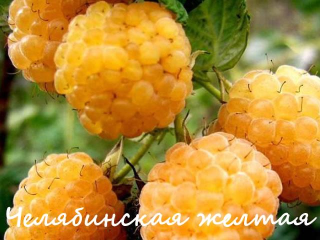 Малина сорт Челябинская желтая