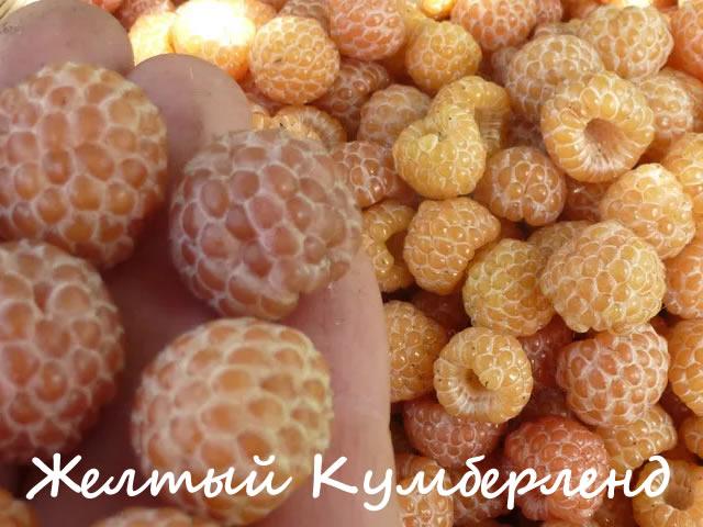 Малина сорт Желтый Кумберленд