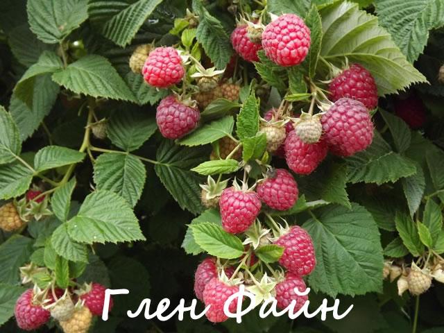 Плодоносящий куст малины сорт Глен Файн