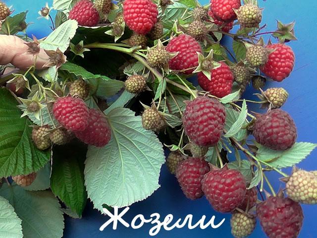 Плодоносящий побег крупноплодной малины сорт Жозели