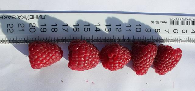 Ягоды малины сорт Конек-горбунок на фоне линейки
