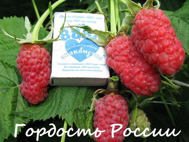 Ягоды малины Гордость России крупным планом