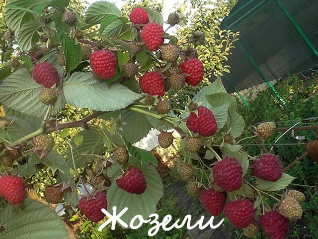 Новый сорт малины из США-Жозели