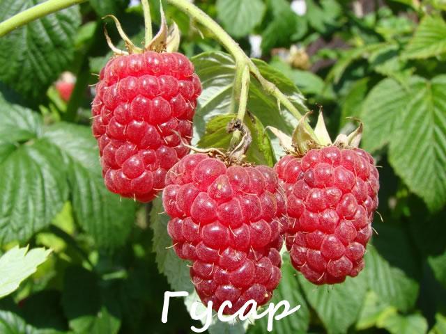 Урожайный сорт летней малины Гусар