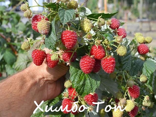 Плодоносящая ветка сорта Химбо Топ