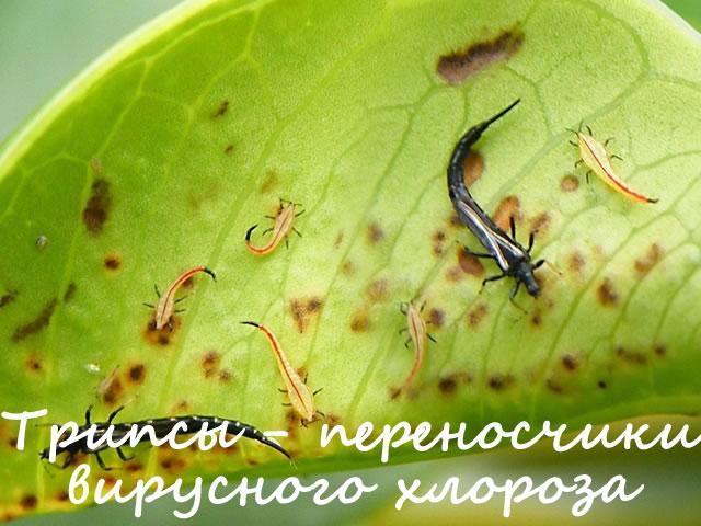 Трипсы переносчики вирусного хлороза на малине