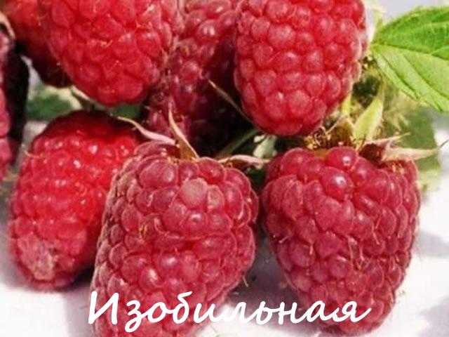 Урожайный сорт малины с крупными плодами Изобильная