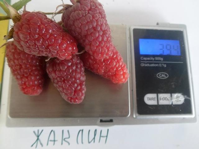Плоды малины Жаклин крупным планом