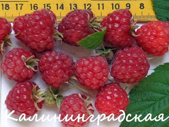 Плоды малины Калининградская на фоне линейки