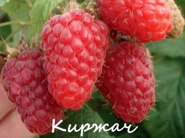 Сорт малины для средней полосы России Киржач